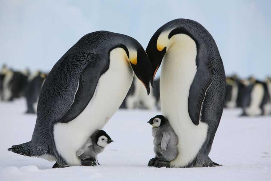 pinguin-gorelik